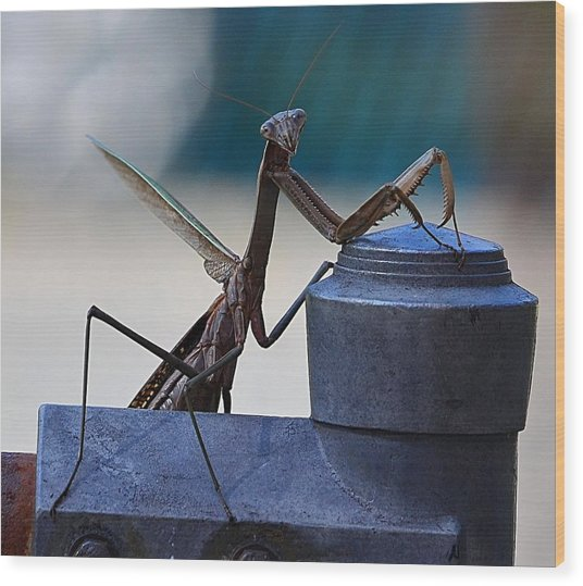 You Looking At Me - Pray Mantis Wood Print