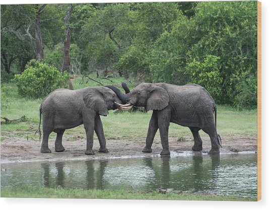 Young African Elephant Bulls Greeting Wood Print
