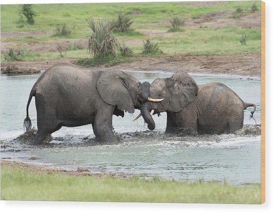 Young African Elephant Bulls Sparing Wood Print