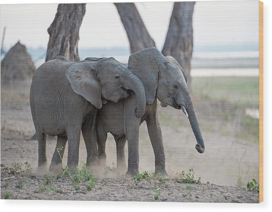 Young African Elephants At Play Wood Print