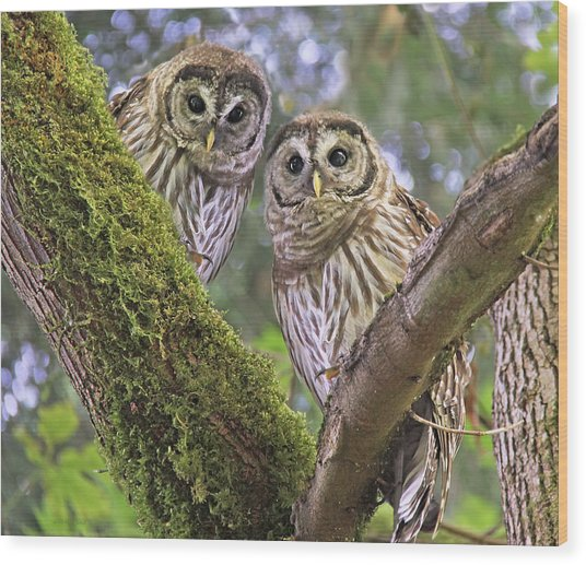 Young Barred Owlets  Wood Print