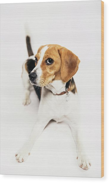 Young Beagle In The Studio Wood Print by Kevin Vandenberghe