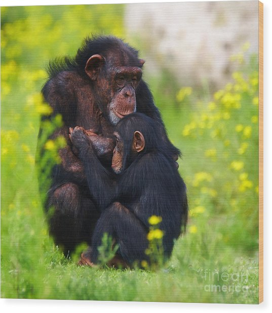 Young Chimpanzee With Adult - II Wood Print