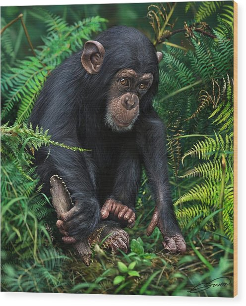 Young Chimpanzee With Tool Wood Print by Owen Bell