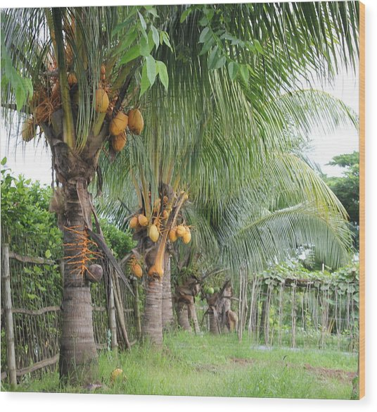 Young Coconut Trees Wood Print