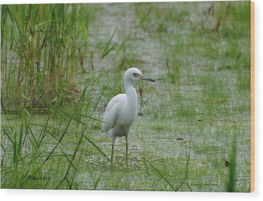 Juvenile Little Blue Heron At Willow Pond Wood Print