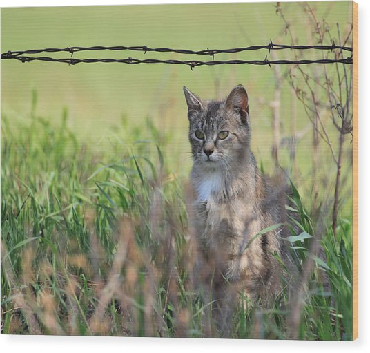 Young Farm Kitty Wood Print