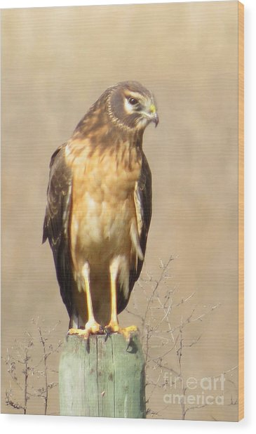 Young Harrier Wood Print by Frank Townsley