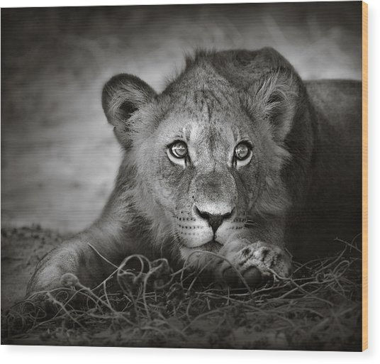 Young Lion Portrait Wood Print