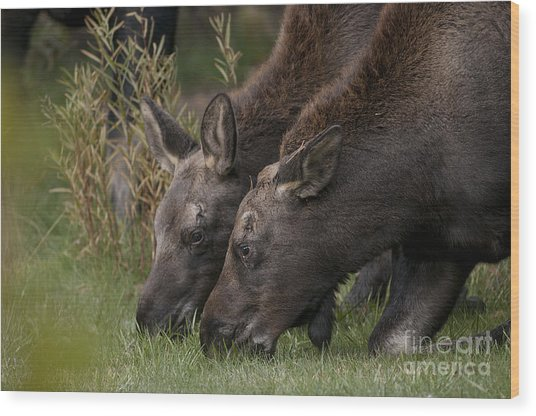 Young Moose Wood Print by Earl Nelson