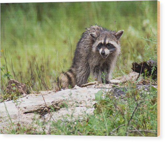Young Raccoon Wood Print