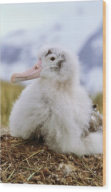 Young Wandering Albatross (diomendea Wood Print