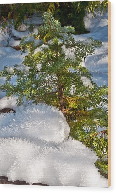 Young Winter Pine Wood Print