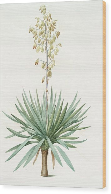 Yucca Gloriosa, Yucca A Feuilles Entieres Palm Lily Or Wood Print