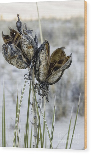 Yucca Seed Pods Wood Print