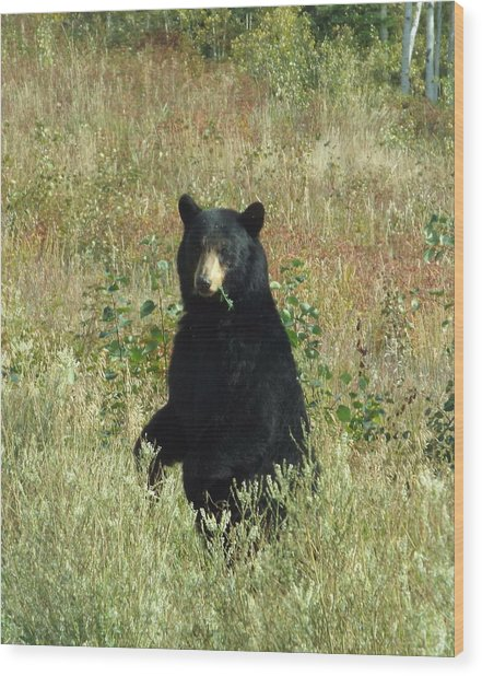 Yukon Black Bear Wood Print