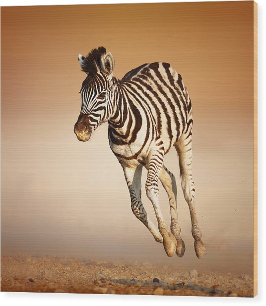 Zebra Calf Running Wood Print