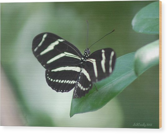 Zebra Longwing Butterfly A Quite Moment Wood Print