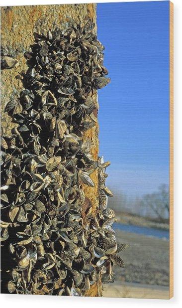 Zebra Mussels Wood Print by Jim West