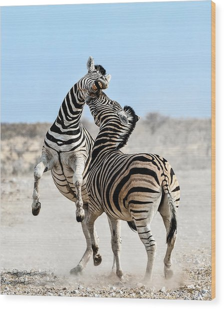Zebra Stallions Fighting In Etosha Np Wood Print