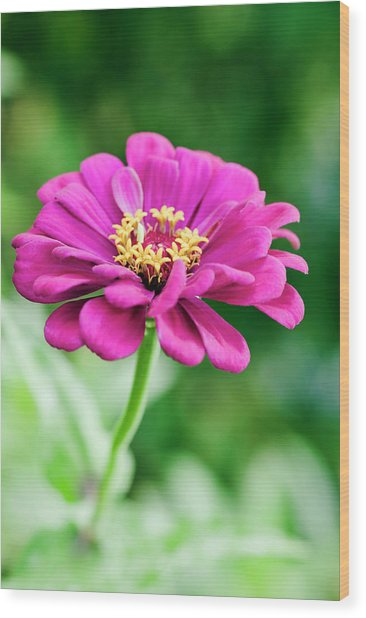 Zinnia Flower (zinnia Sp.) Wood Print by Gustoimages/science Photo Library