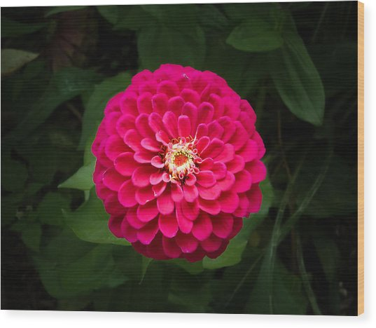 Zinnia In Bloom Wood Print