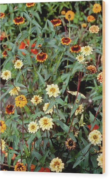 Zinnia Mexicna Persian Carpet. Wood Print by Adrian Thomas/science Photo Library