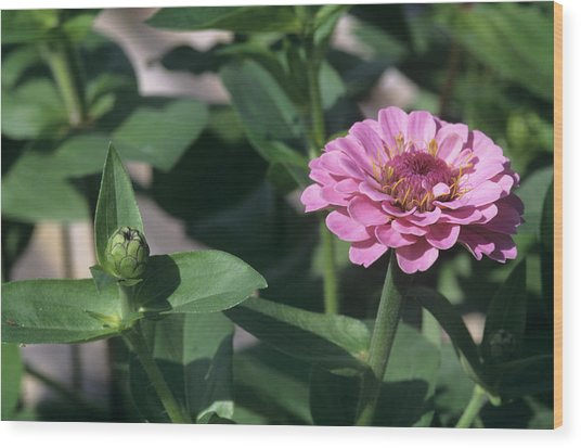 Zinnia 'oklahoma' Flower Wood Print