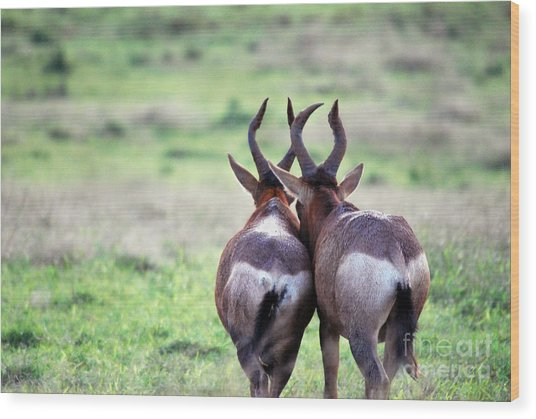 A Springbok Couple Wood Print