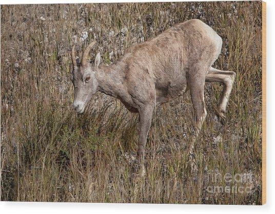 Bighorn Ewe Wood Print