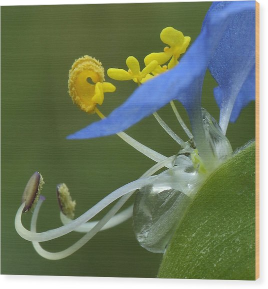 Close View Of Slender Dayflower Flower With Dew Wood Print