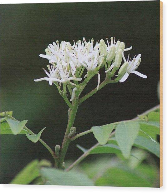 أزهار شجرة الكاري، Wood Print