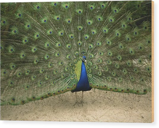 A Male Peacock Displays His Feathers Wood Print