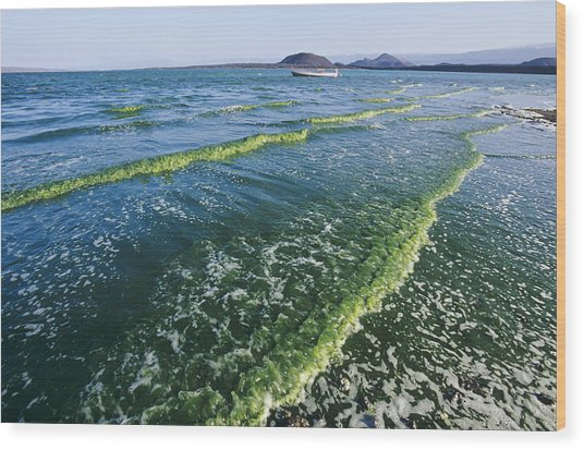 Algal Bloom Wood Print by Alexis Rosenfeld