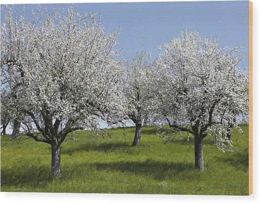 Apple Trees In Full Bloom Wood Print by Wilfried Krecichwost