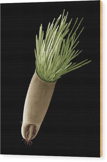 Aster Seed, Sem Wood Print by Steve Gschmeissner