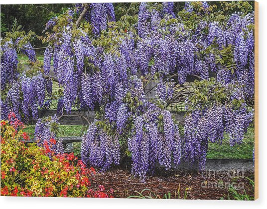Beautiful Wisteria Wood Print