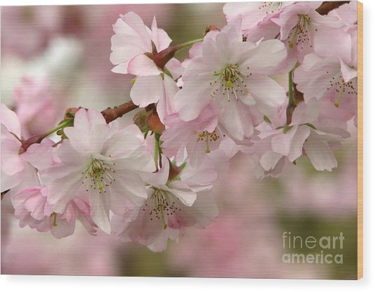 Cherry Blossoms Wood Print by Frank Townsley