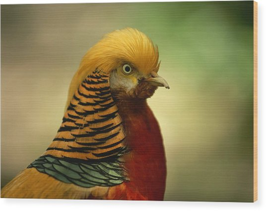 Close View Of A Golden Pheasant Wood Print