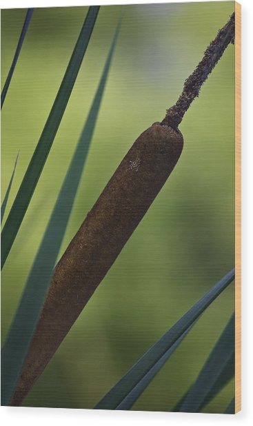 Common Cattail Wood Print