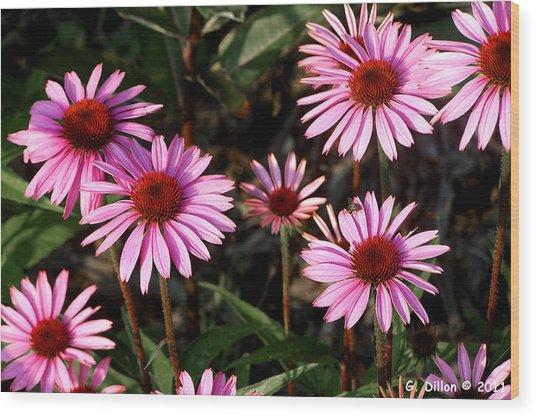 Coneflower Echinacea Purpurea Wood Print