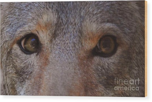 Coyote Eyes Wood Print by DiDi Higginbotham