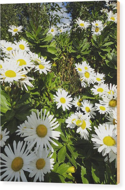 Crowd Of Daisies Wood Print by Guy Ricketts