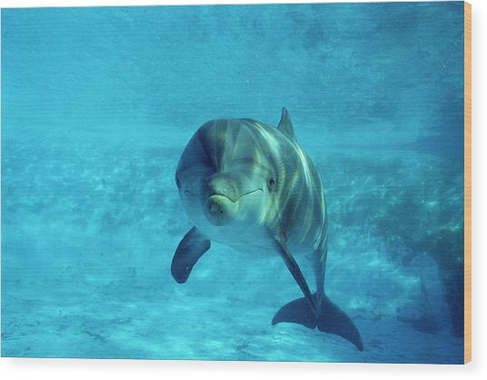 Dolphin In Captivity Wood Print by Alexis Rosenfeld