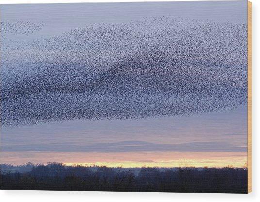 European Starling Flock Wood Print by Duncan Shaw