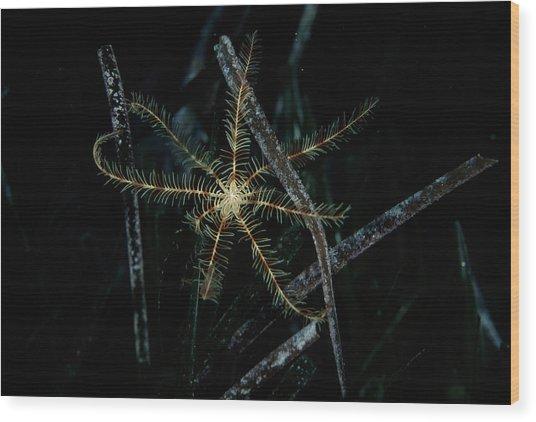 Featherstar Wood Print by Alexis Rosenfeld