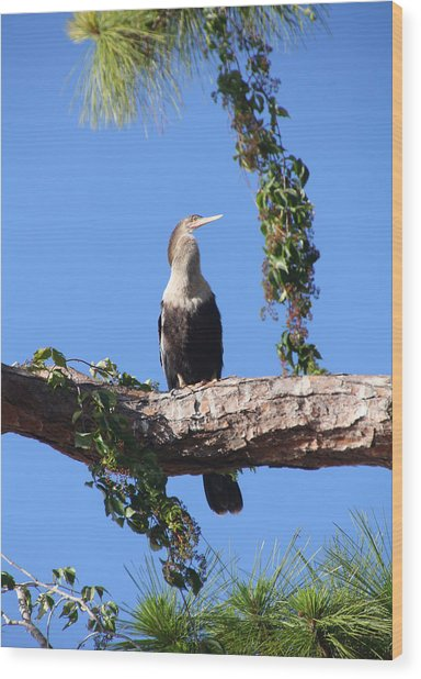 Female Anhinga Wood Print by Rosalie Scanlon