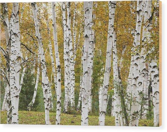 Golden Birches Wood Print