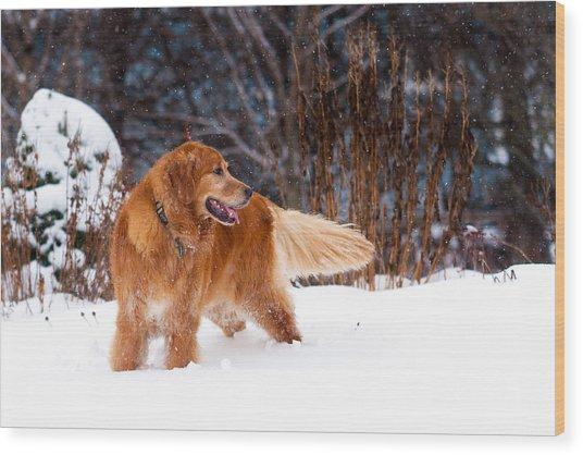 Golden Retriever In Snow Wood Print by Matt Dobson
