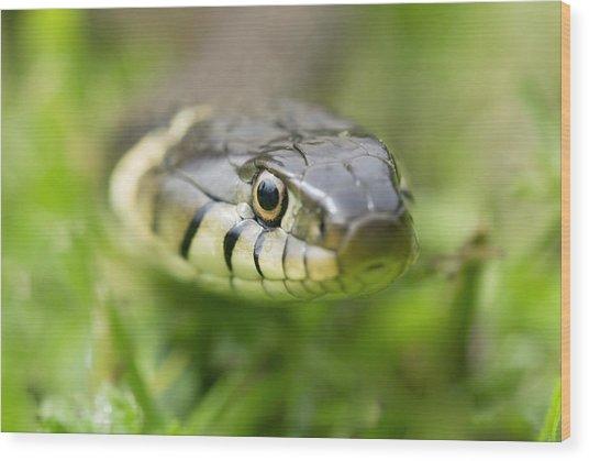 Grass Snake Wood Print by Adrian Bicker